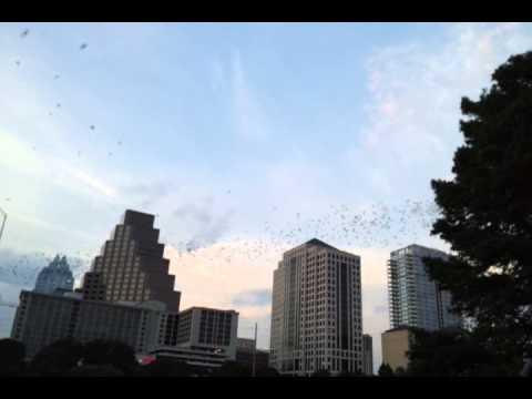 Bats Flying at Congress Avenue Bridge in Austin