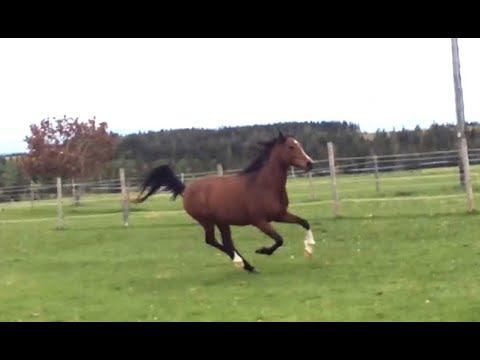 Arabian Horse Running And Playing In Field