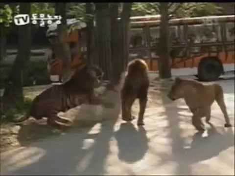 Aslan ve Kaplanın akıl almaz dövüşü Mutlaka İzleyin!
