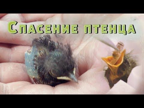 Вопрос: Как помочь птенцу, выпавшему из гнезда?