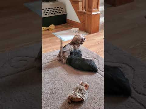 8 week old Dandie Dinmont Terrier puppies!