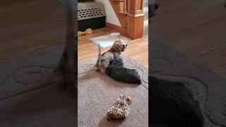 8 week old Dandie Dinmont Terrier puppies!