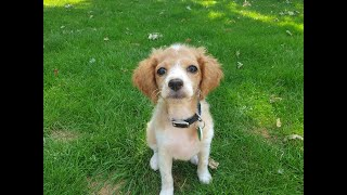 Nellie the 14 week old Cavapoochon Puppy - 2 Weeks Residential Dog Training