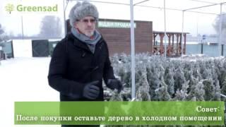 видео Новогодняя елка: как выбирать, устанавливать, ухаживать, наряжать