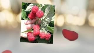 видео саджанці малини