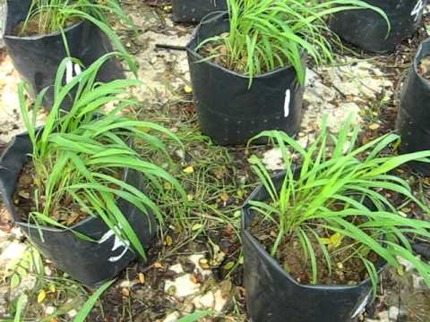 Purple guinea grass experiment in bag under shade