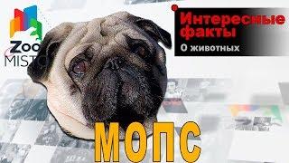 Мопс - Интересные факты о породе
