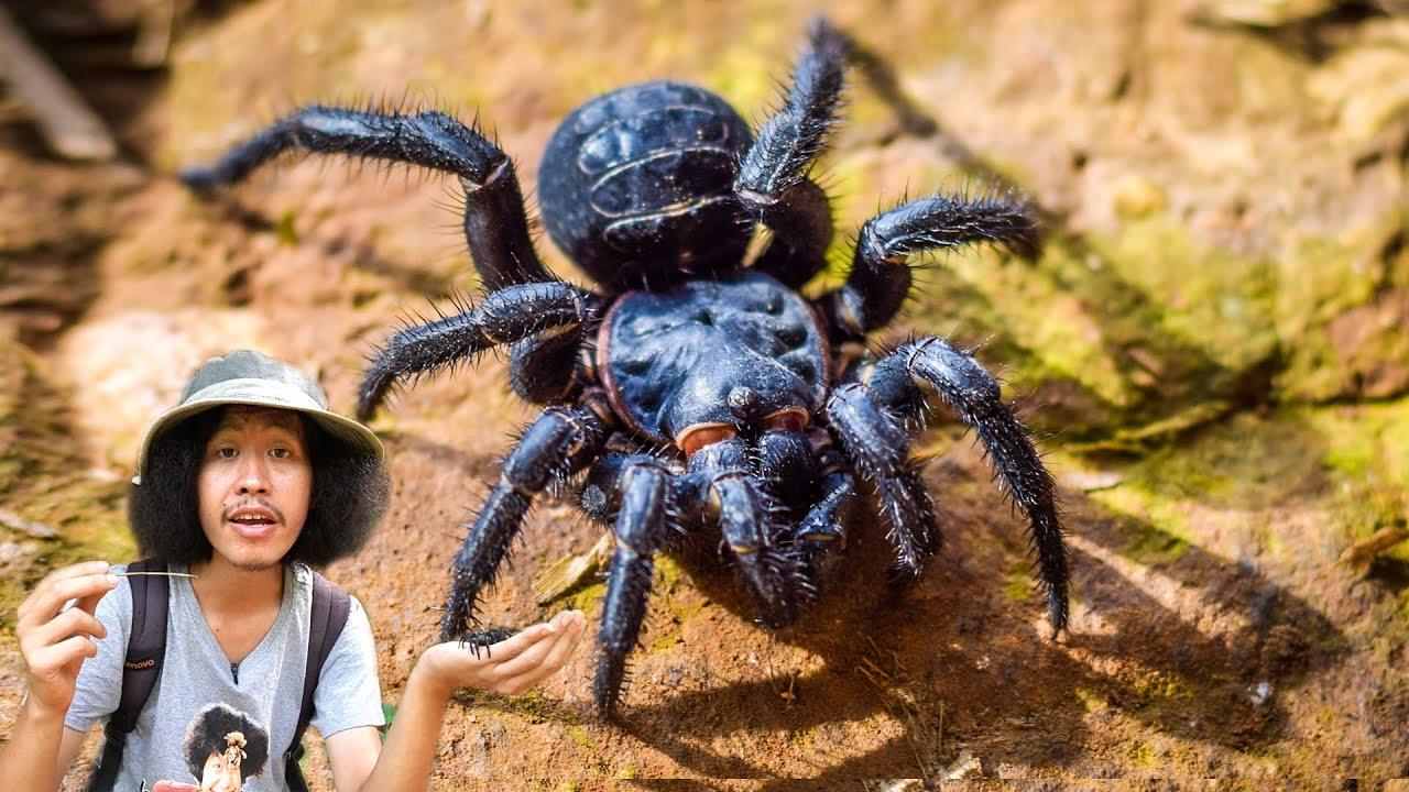 แมงมุมโบราณกับดัก....!!   แมงมุมก้นปล้อง....!!? [โจโฉ]