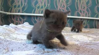 шотландские котята. ПРОДАЖА!