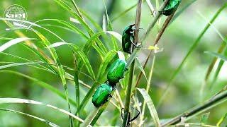 ด้วงดอกไม้หน้ายาว (Flower beetle) Heterorrhina micans (Guerin-Meneville, 1840)