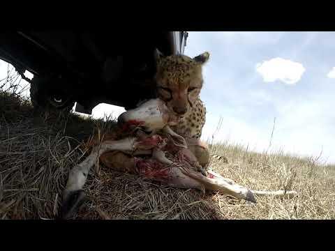 Cheetah Kill Right Under Our Car