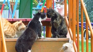 Cats want mating day 2