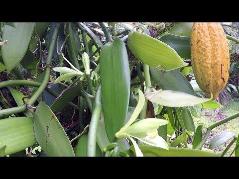 Pollinating Vanilla Bean Orchid