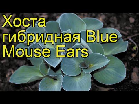 Хоста гибридная Ушки Синей Мышки. Краткий обзор, описание hosta hybrida Blue Mouse Ears