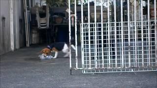 Jeudi The Beagle Challenge