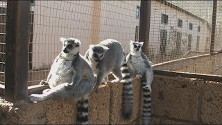 Dubbing zwierząt - Król Julian i lemury :)