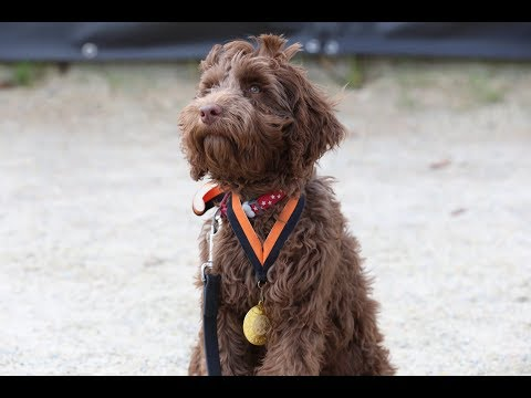 Alfie - Labradoodle Puppy - 3 Weeks Residential Dog Training