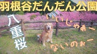 【気まぐれフリコの散歩】羽根谷だんだん公園の八重桜と鯉のぼり