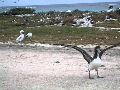 Laysan Albatross flying practice