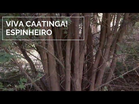 Viva Caatinga! Espinheiro