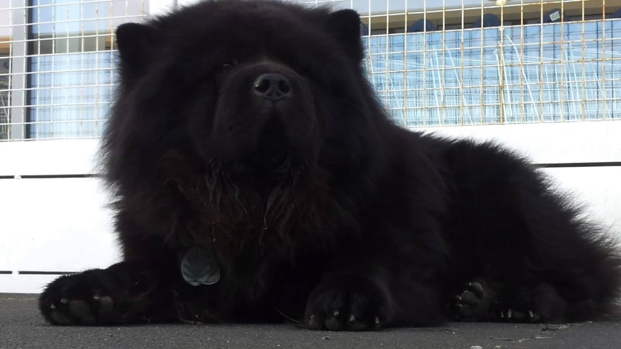Bigg Black Chow Chow Youtube