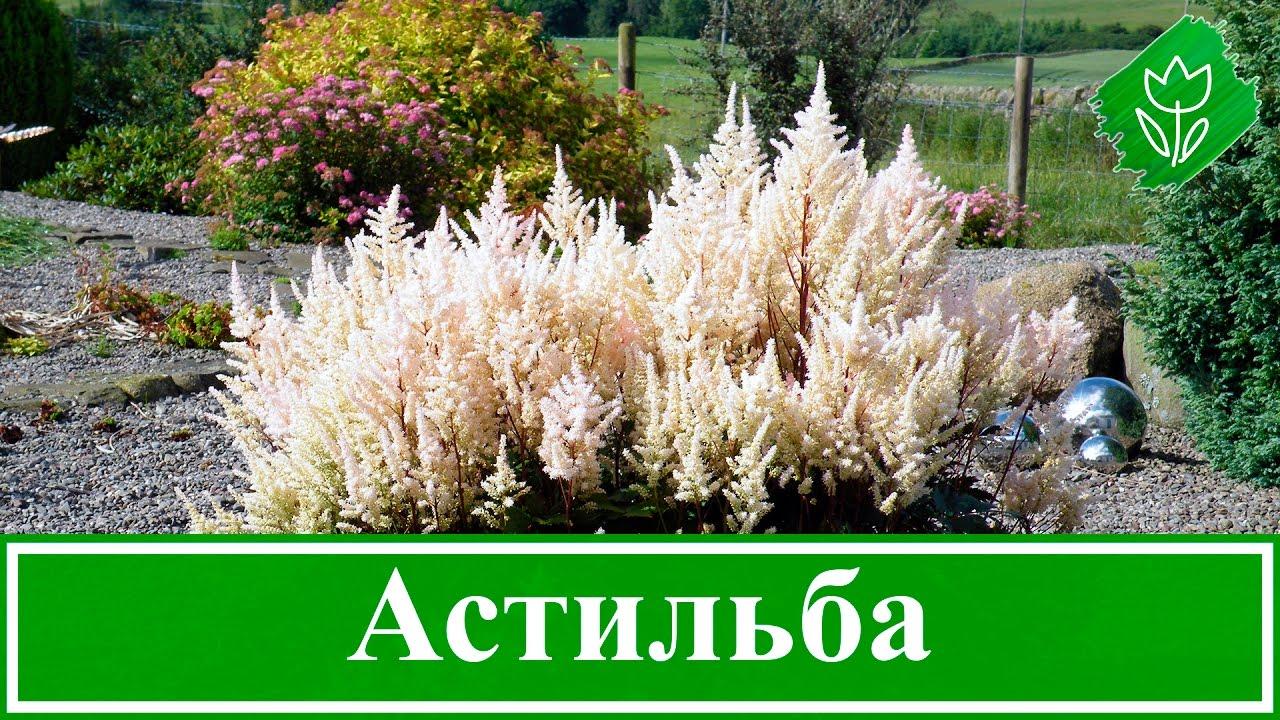 Цветок астильба – посадка и уход, выращивание астильбы из ...