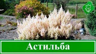Цветок астильба – посадка и уход, выращивание астильбы из семян