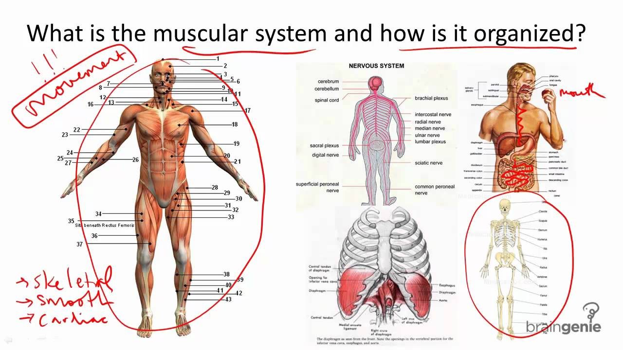 8.4 muscular system structure and function - youtube, Human Body