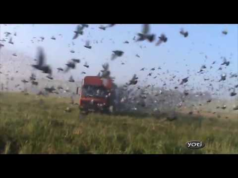 Thumbnail: Amazing Pigeon Racing releases around the world