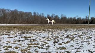 SOLD Marsha, well broke spotted gaited trail horse for sale