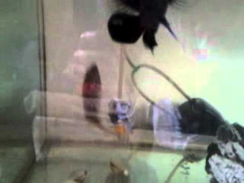 Oscar vs jewel cichlid