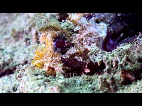 Sydney Scorpionfish - first underwater video