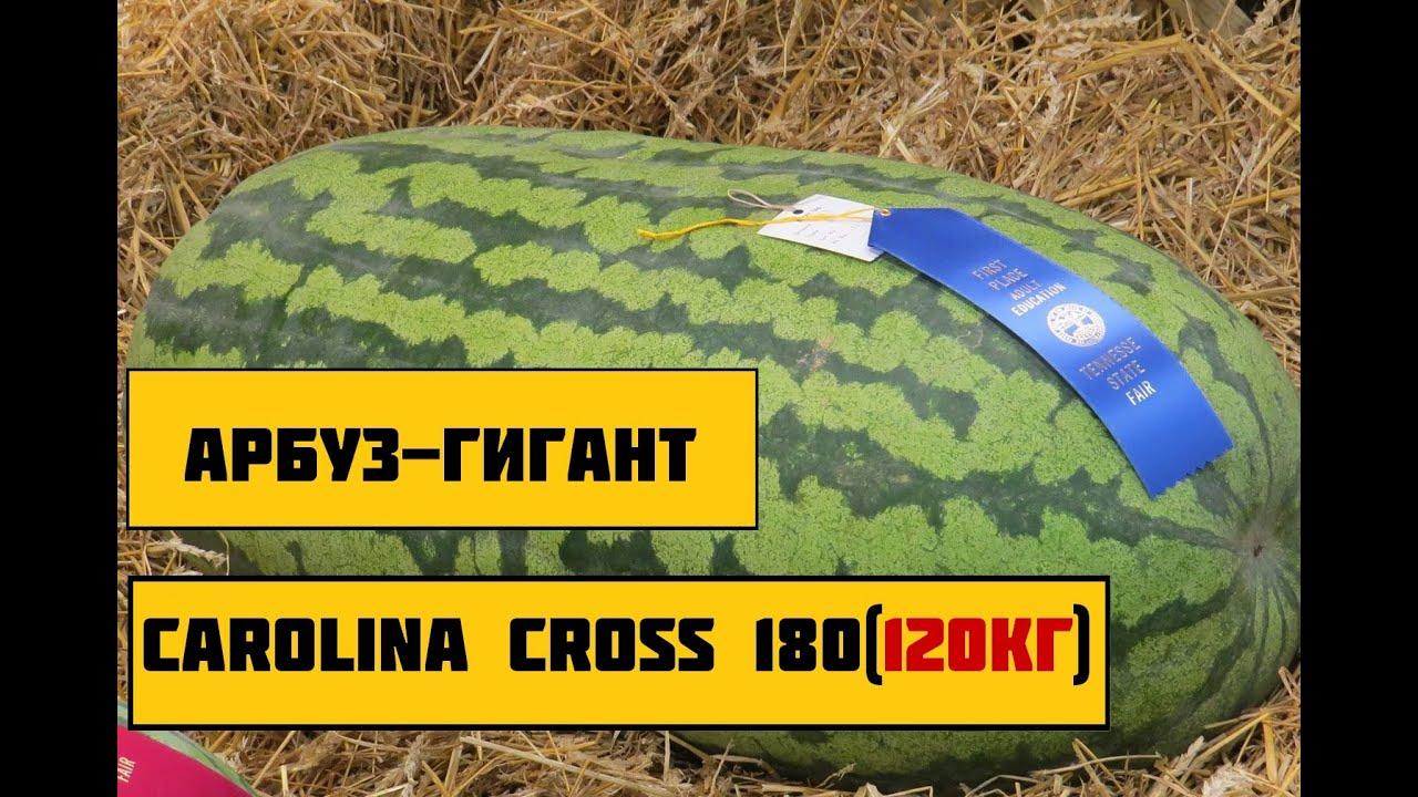 Обзор сорта арбузов (Каролина Кросс 180)/ Watermelon ...