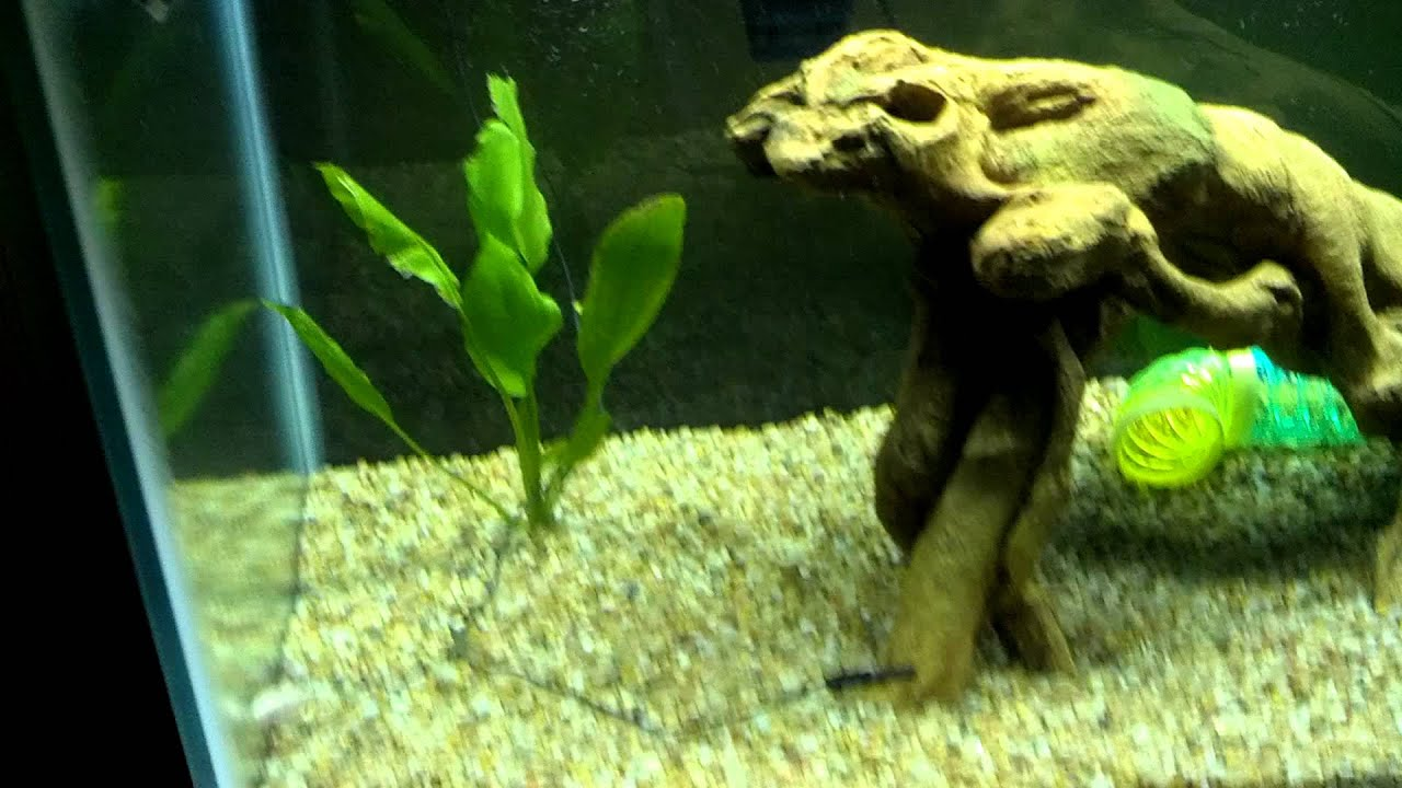 Freshwater aquarium knife fish - 75 Gallon Fish Tank With Black Ghost Knife Fish