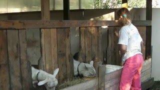 Фокус кормления коз в общем выгуле.