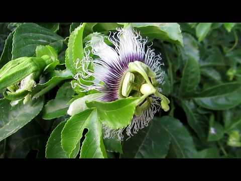 Страстоцвет (пассифлора) – полезные свойства и