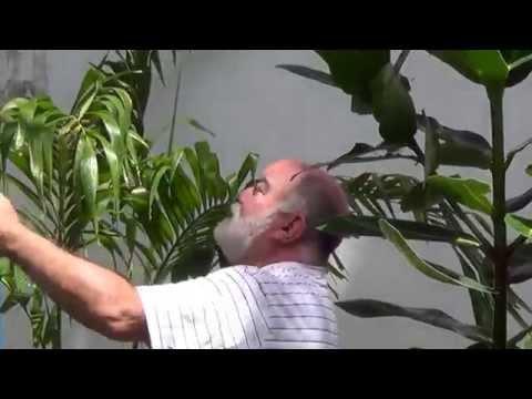 luciano hortencio - AS PALMEIRAS DO MEU QUINTAL