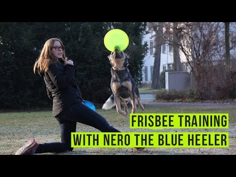 Australian Cattle Dog / Blue Heeler 'Nero' playing with the frisbee