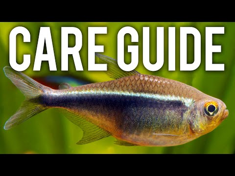 Black Neon Tetra Care Guide - Hardy, Underrated Schooling Fish