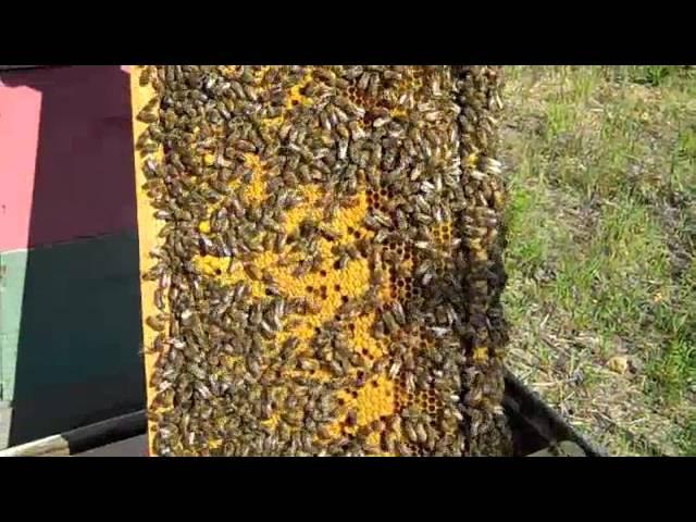 Checkerboarding BeeHive Fat Bee Man