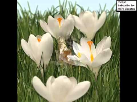 White crocus picture set of beautiful folwers youtube white crocus picture set of beautiful folwers mightylinksfo