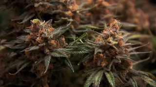 видео best online weed store