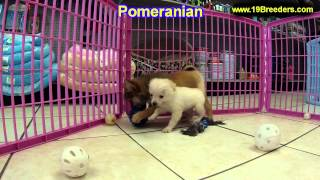 Pomeranian, Puppies, For, Sale, In, South Bend, Indiana, County, In, Allen, Hamilton, St  Joseph, Va
