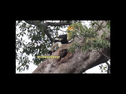 Hornbill  Nesting