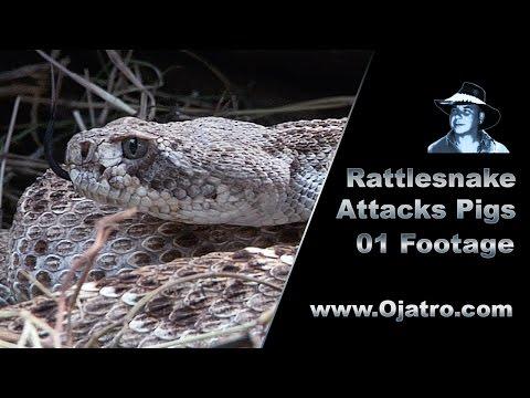 Rattlesnake Attacks Pigs 01 Stock Footage