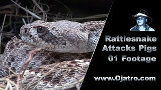 Rattlesnake Attacks Pigs 01 Stock Footage