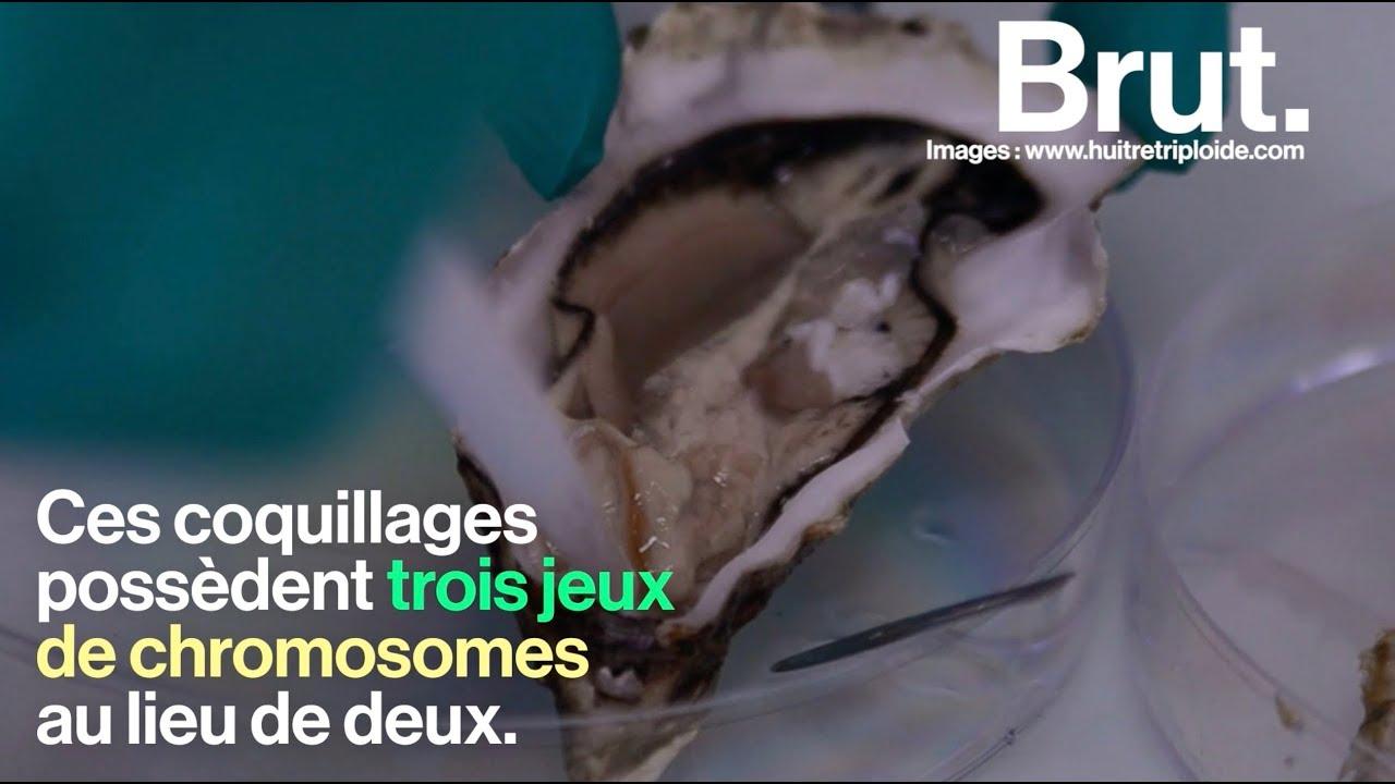 Le danger des huîtres triploïdes