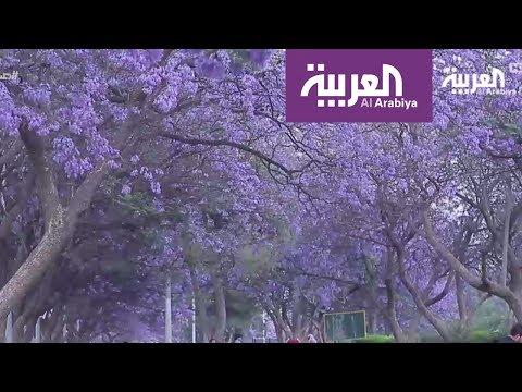 صباح العربية: مدينة أبها جنوب السعودية تتزين بأشجار الجاكرندا اللاتينية  - نشر قبل 2 ساعة