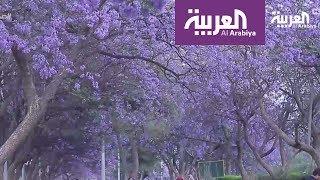صباح العربية: مدينة أبها جنوب السعودية تتزين بأشجار الجاكرندا اللاتينية