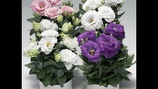 Эустома, лизиантус: секреты успешного выращивания.(Эустома , лизиантус, «ирландская роза» - вот неполный перечень названий этого прекрасного растения, которое..., 2015-10-19T10:45:06.000Z)
